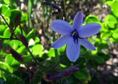 Blue Grass Lily - Ravensthorpe Wildflowers