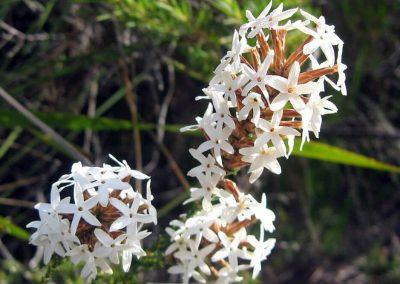 Curry Flower - Ravensthorpe Wildflowers