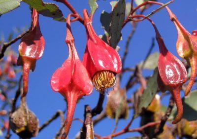 Four Winged Mallee - Ravensthorpe Wildflowers