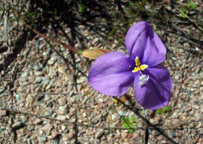 Purple Flag - Ravensthorpe Wildflowers