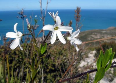 Unamed Flower - Ravensthorpe Wildflowers