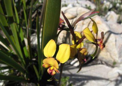 Donkey Orchid - Ravensthorpe Wildflowers
