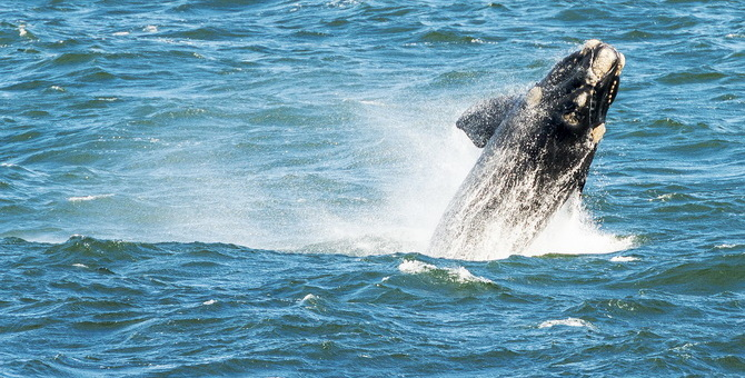 southern-right-whale-breaching